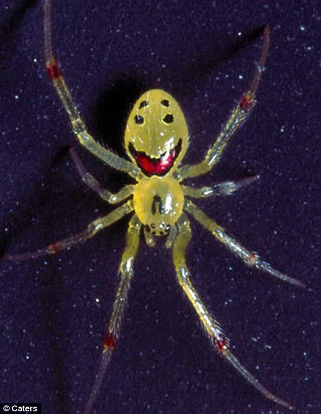 happy face spider hawaii. Meet the happy-faced spider